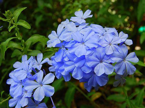 periwinkle flowers periwinkle wedding flowers rosy blue white periwinkle flowers