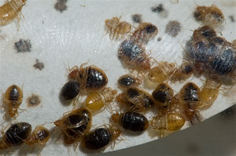 what keeps bed bugs away keeping bed bugs away research and product development is