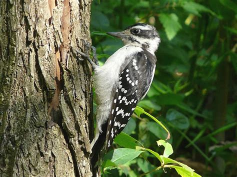 toronto wildlife woodpeckers