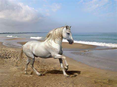 sulla spiaggia cavallo andaluso sulla spiaggia immagini e sfondi per