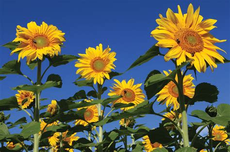 royal hybrid 174 1121 sunflower seed johnny s selected seeds