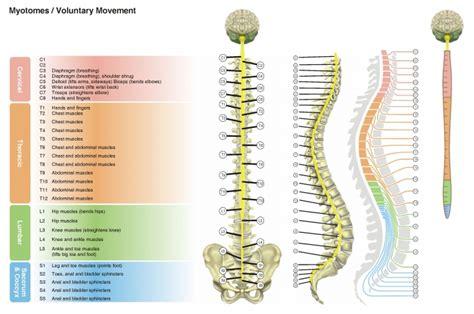 cuales son las cadenas musculares pdf columna vertebral ii dermatomas y miotomas
