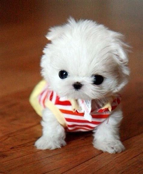 small white puppy white small white puppy precious loving animals animal and