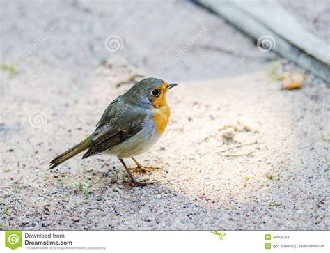citril finch small bird with a yellow breast stock image