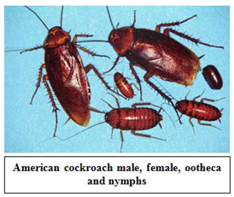 baby cockroach vs bed bug baby cockroach vs bed bug crowdbuild for