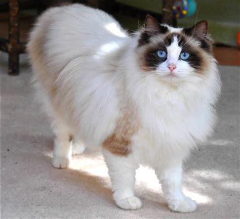Ragdoll Cat ? Purrfect Cat Breeds