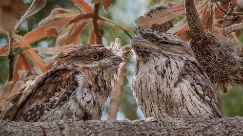 meet  frogmouth   natures  elusive