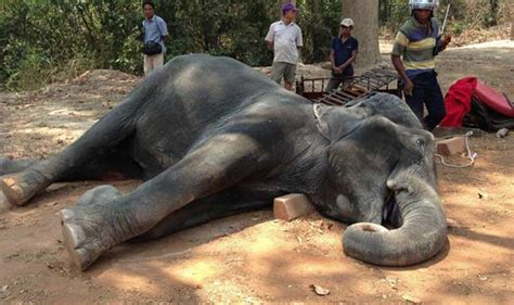 Elephant Jumbo asia s jumbo elephant to be felicitated eyeing