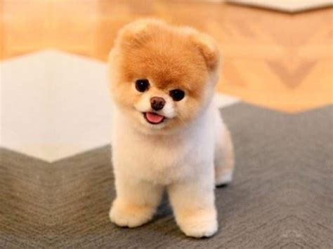 cutest puppy in the world boo is boo just a pomeranian with a haircut