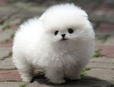 White Fluffy by White Pompom