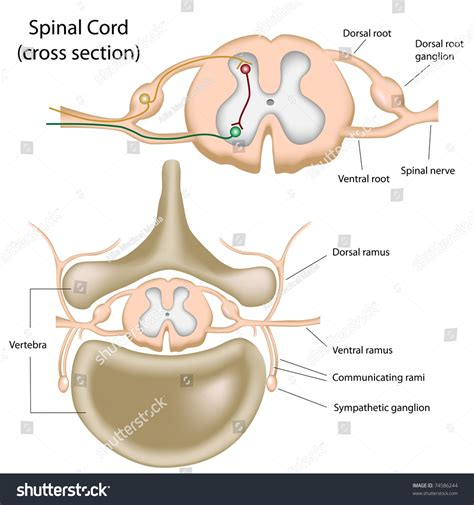 section of the spine cross section spinal cord stock illustration 74586244
