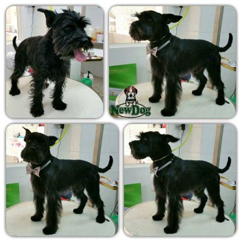 stripping schnauzer puppy cut jacopo newdog beauty center