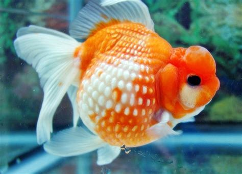 Pakan Ikan Hias Koki 19 jenis jenis ikan koki penjelasan lengkap dan gambarnya