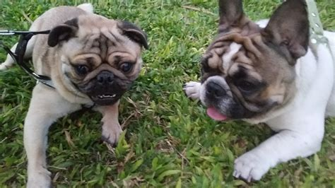 pug bulldog pug vs bulldog mops vs bulldog frenchie vs carlino fighting