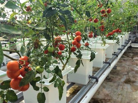 Pupuk Untuk Bunga Tomat tomat panduan menanam tomat