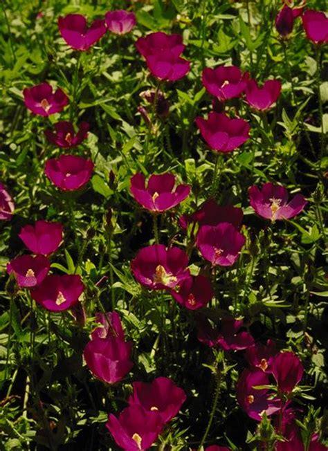 winecups botanical  callirhoe involucrata plant type