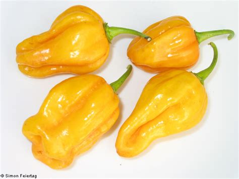 Jual Bibit Cabe Habanero jual benih bibit cabe yellow habanero lemon pepper