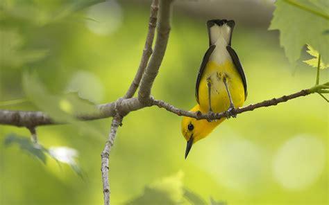 pinterest wallpaper birds yellow birds on branches yellow bird on branch