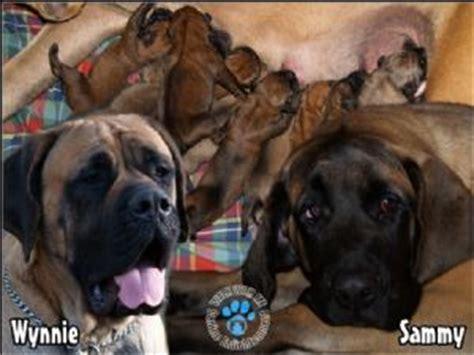 puppies for sale in toledo ohio mastiff puppies for sale