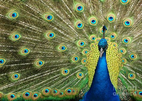 Peacock L by Pretty Peacock Photograph By L