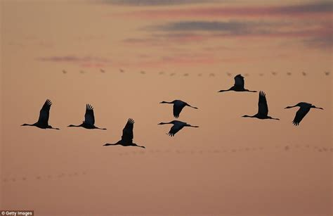 almost 200 000 cranes descend on german marshes daily