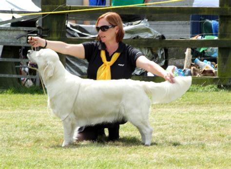 golden retrievers uk golden retriever slide show breeds picture