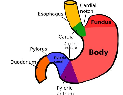 Sections Of Stomach by File Regions Of Stomach Svg Wikimedia Commons