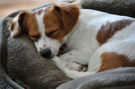 dog sleeping on bed dog sleeping in bed all pet news