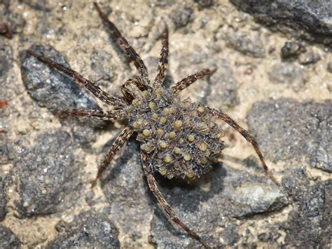 wolf spider images wolf spiders info on removal bites extermination