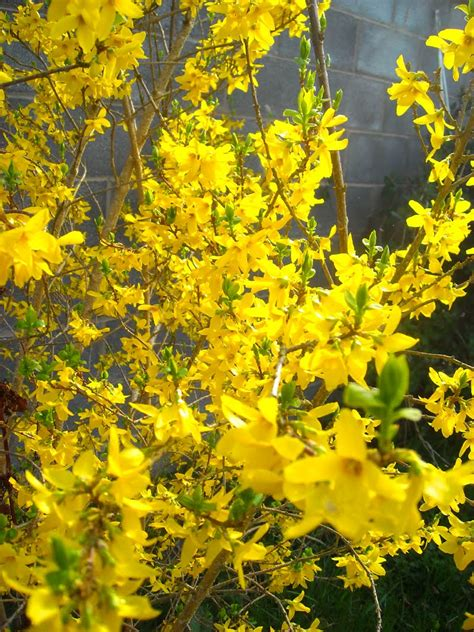 windywillow forsythia blooming
