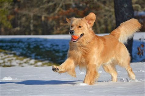 cancer free golden retriever breeders talking dogs at for of a help keep golden retrievers and other dogs happy