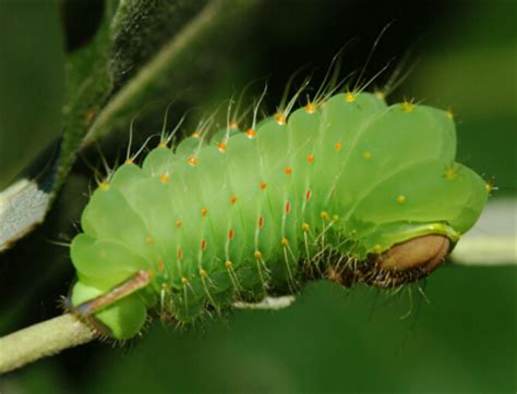 where to find caterpillars in your backyard giant silk moth caterpillars insects university of