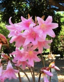 types of lilies braman s wanderings