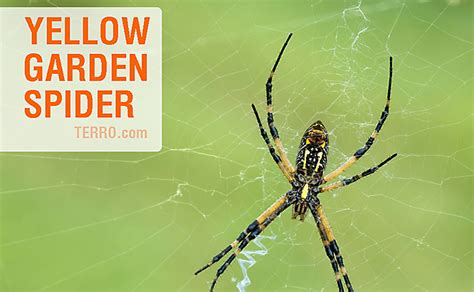 yellow pattern back spider how to id spiders by their webs