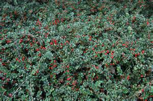 Purple Flowering Shrubs Australia - cranberry cotoneaster landscape architect s pages