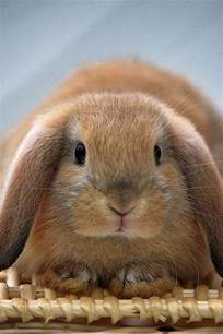brown lop eared bunny on a basket fuzzy bunny board pinterest