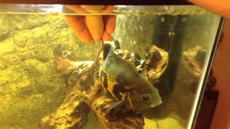 Feeder Fish For Oscars feeding my oscar fish