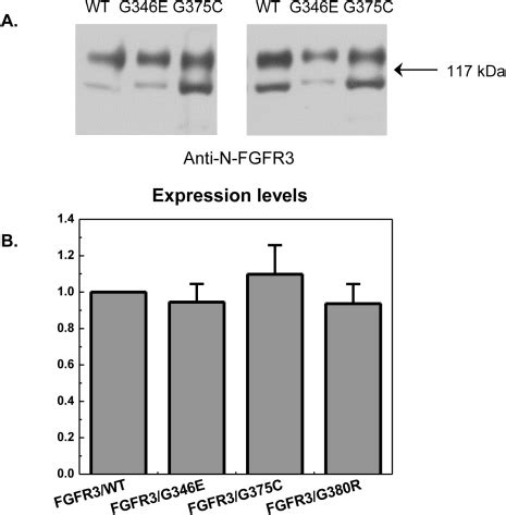 Serum Lyese fgfr3 expression patterns in hek 293 cells cells were t open i