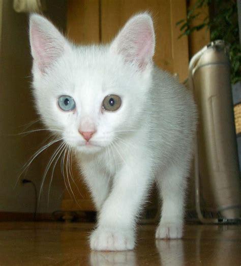Cat Putih Danagloss White 0001 file two cat jpg wikimedia commons
