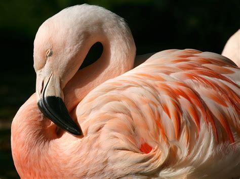 flamingos birds wallpaper chilean flamingo wallpapers chilean flamingo stock photos
