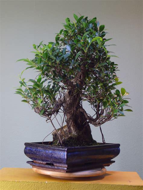 bonsai interieur jardiland prix bonsai ficus ginseng