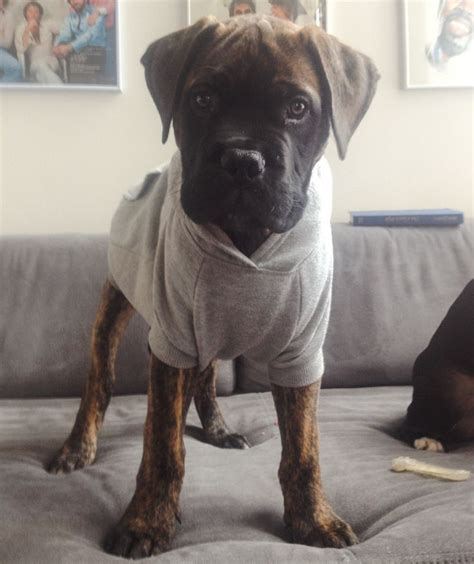 how much are bullmastiff puppies 1000 images about bullmastiffs on i wish and