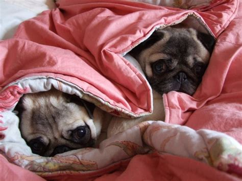 pug puppy bed 16 reasons pugs are the worst indoor breeds of all time