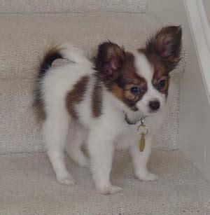 puppy george saunders papillon breed