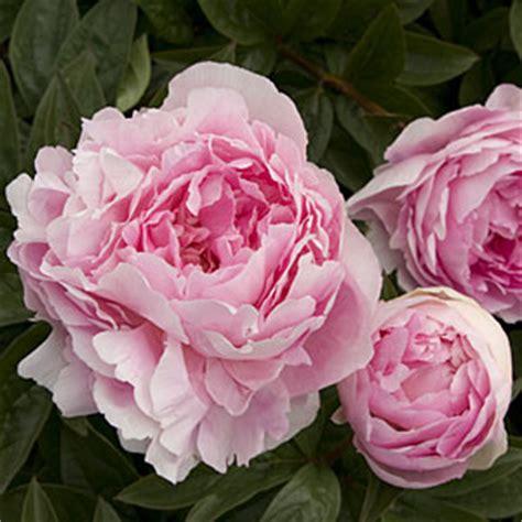 linguaggio dei fiori perdono agosto benessere con la natura barbanera dal 1762