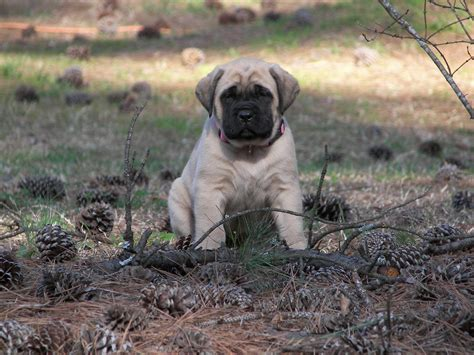 bullmastiff puppies for sale nc mastiff puppies for sale in sc nc or ga