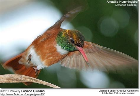 hummingbirds calls vocalizations and sounds beauty of