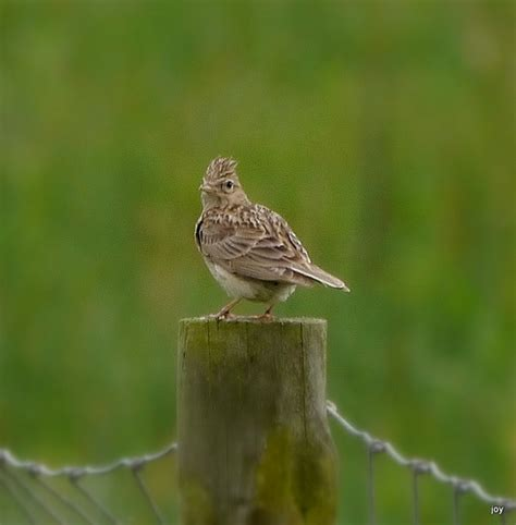 crested head the skylark is a small brown bird somewhat