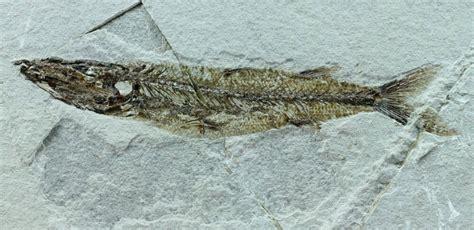 Sphyraena bolcencis Barracuda Fossil Fish