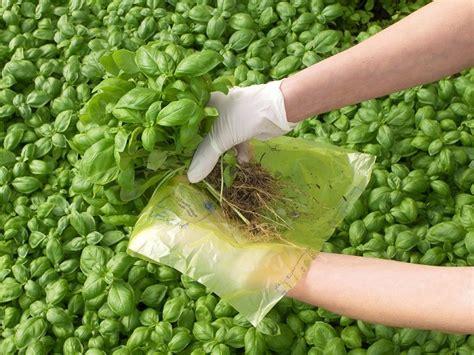 semina basilico in vaso il basilico tutti i segreti per coltivarlo farlo